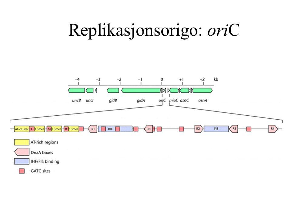 Replikasjonsorigo: oriC