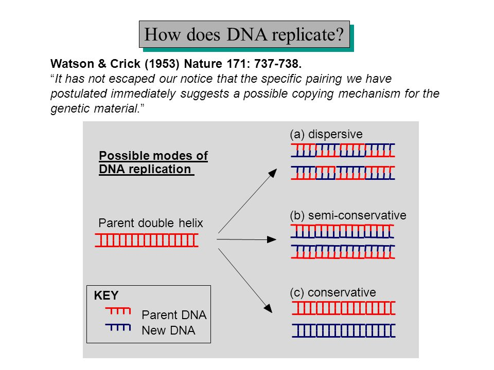How does DNA replicate Watson & Crick (1953) Nature 171: 737-738.