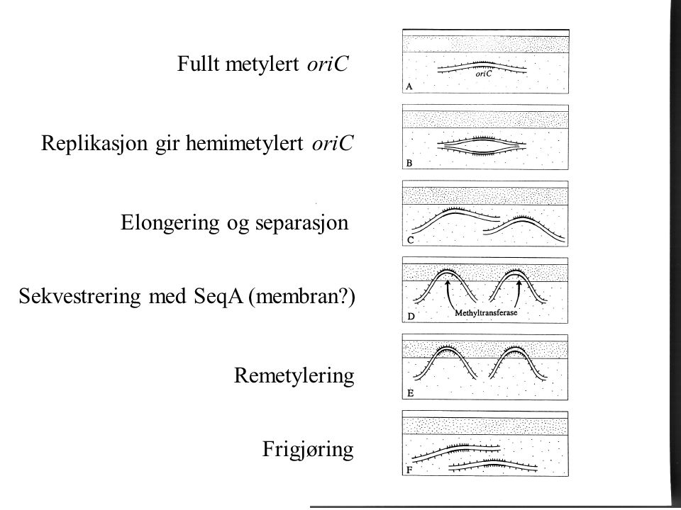 Fullt metylert oriC Replikasjon gir hemimetylert oriC. Elongering og separasjon. Sekvestrering med SeqA (membran )