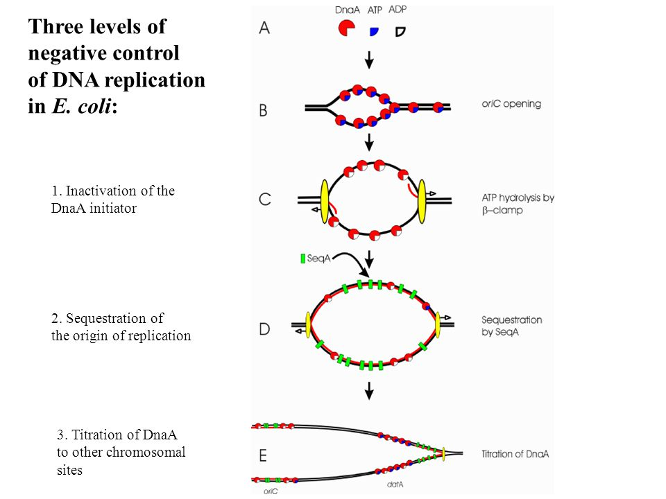 Three levels of negative control of DNA replication in E. coli: