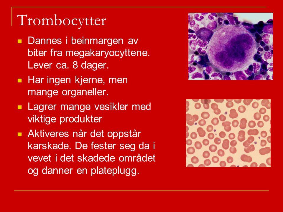 Trombocytter Dannes i beinmargen av biter fra megakaryocyttene. Lever ca. 8 dager. Har ingen kjerne, men mange organeller.