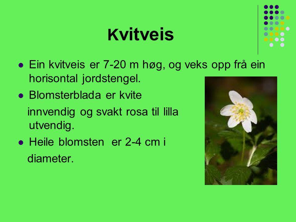 Kvitveis Ein kvitveis er 7-20 m høg, og veks opp frå ein horisontal jordstengel. Blomsterblada er kvite.