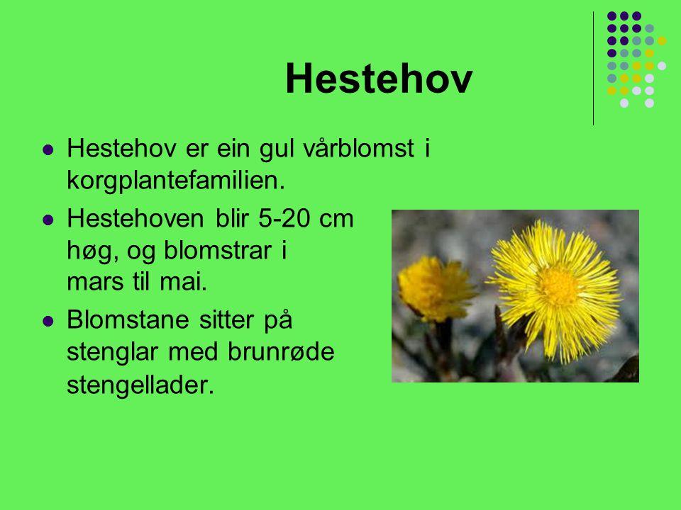 Hestehov Hestehov er ein gul vårblomst i korgplantefamilien.
