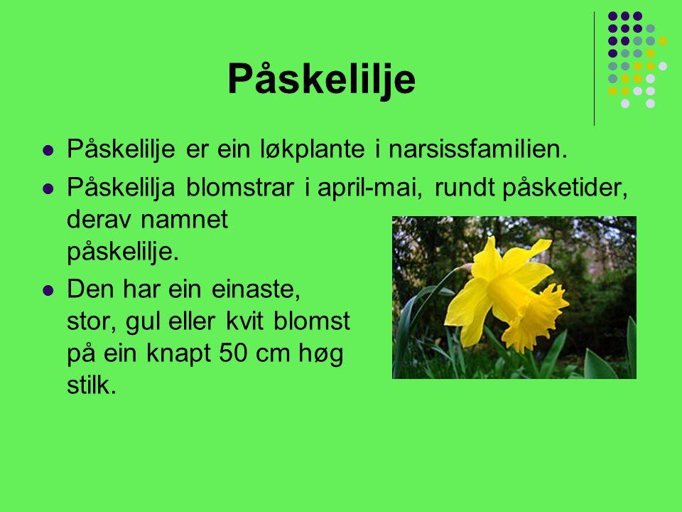 Påskelilje Påskelilje er ein løkplante i narsissfamilien.