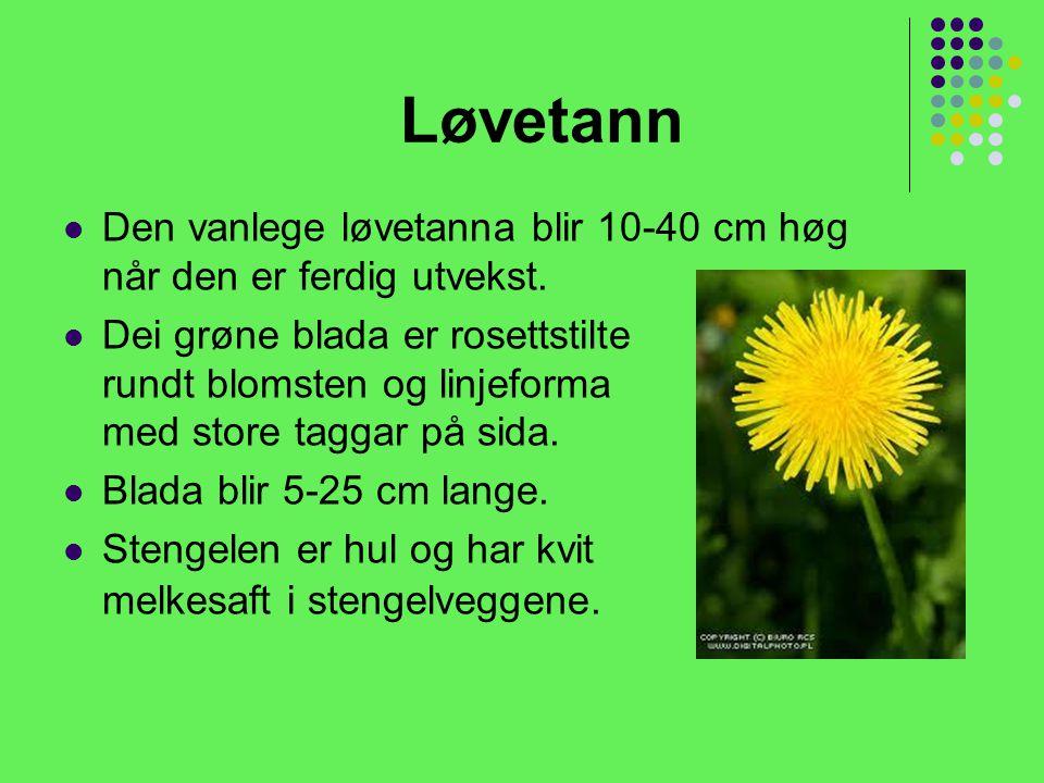 Løvetann Den vanlege løvetanna blir 10-40 cm høg når den er ferdig utvekst.