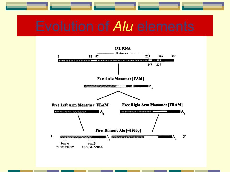 Evolution of Alu elements