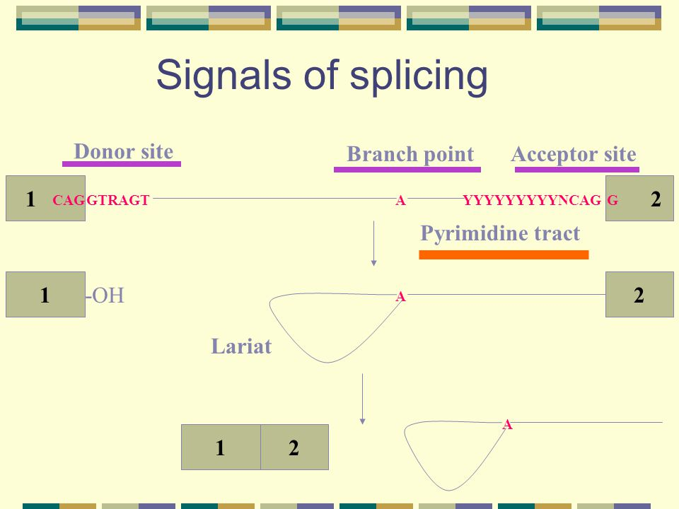 Signals of splicing 1 2 Donor site Acceptor site Branch point