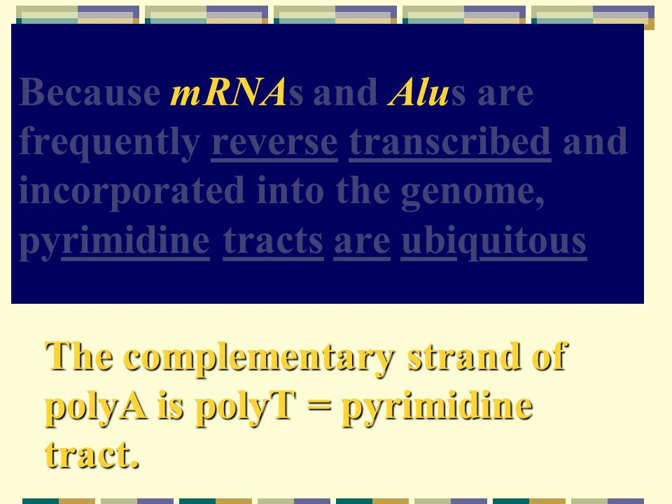 Because mRNAs and Alus are frequently reverse transcribed and incorporated into the genome, pyrimidine tracts are ubiquitous