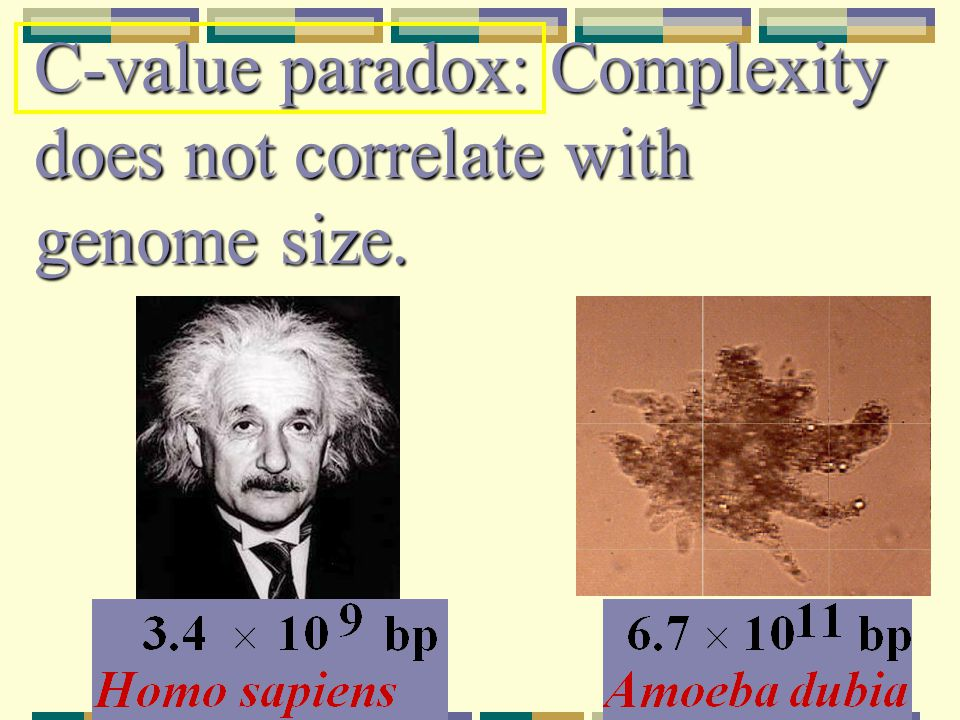 C-value paradox: Complexity does not correlate with genome size.