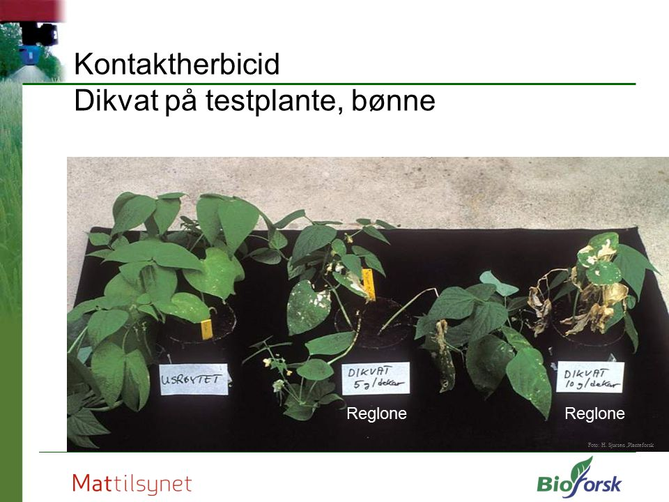Kontaktherbicid Dikvat på testplante, bønne