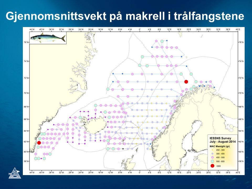 Gjennomsnittsvekt på makrell i trålfangstene