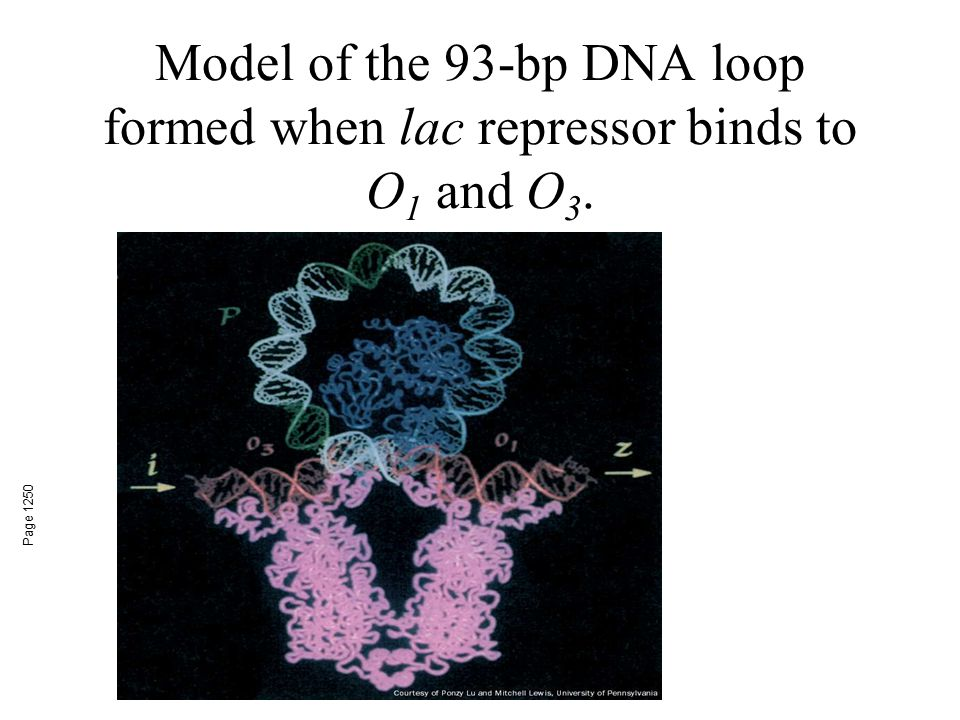 Model of the 93-bp DNA loop formed when lac repressor binds to O1 and O3.