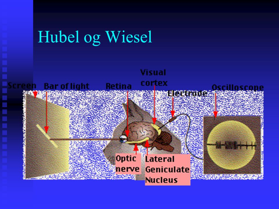 Hubel og Wiesel