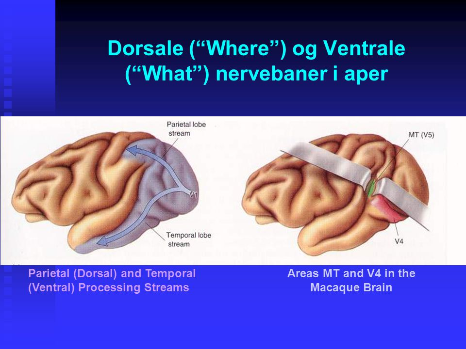 Dorsale ( Where ) og Ventrale ( What ) nervebaner i aper