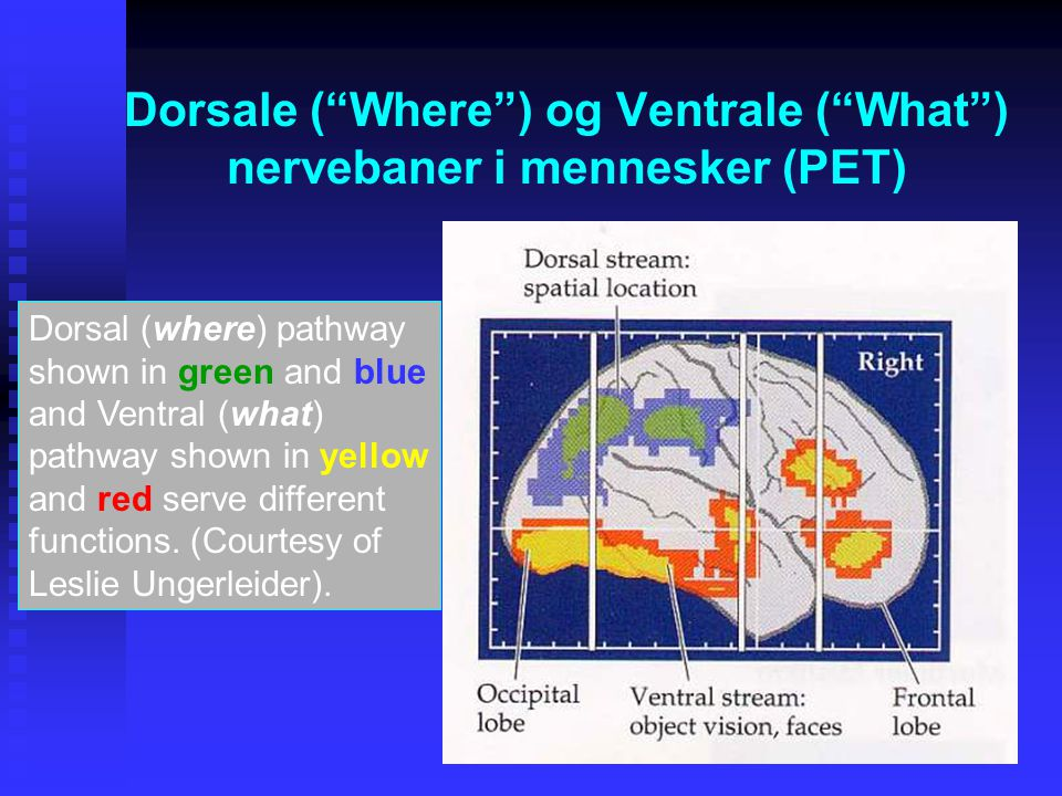 Dorsale ( Where ) og Ventrale ( What ) nervebaner i mennesker (PET)