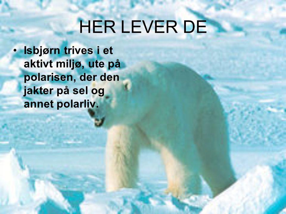 HER LEVER DE Isbjørn trives i et aktivt miljø, ute på polarisen, der den jakter på sel og annet polarliv.