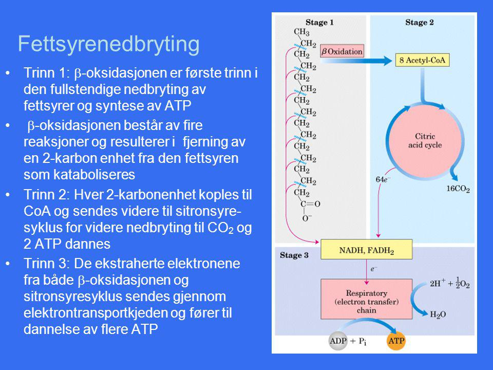 Fettsyrenedbryting Trinn 1: b-oksidasjonen er første trinn i den fullstendige nedbryting av fettsyrer og syntese av ATP.