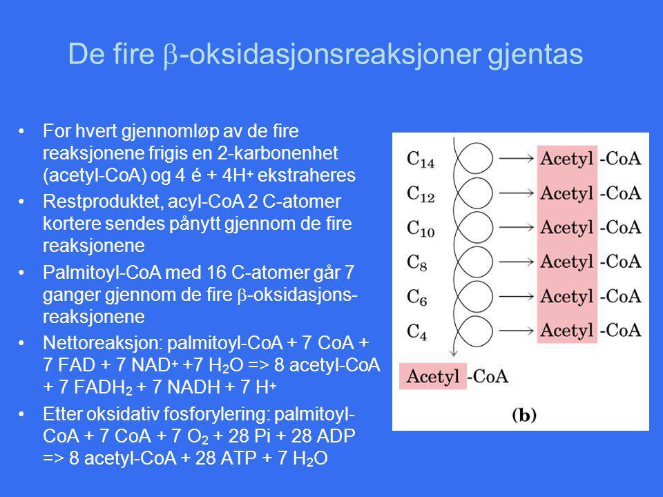 De fire b-oksidasjonsreaksjoner gjentas