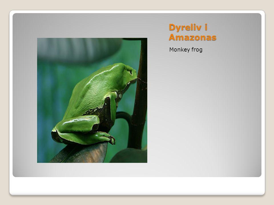 Dyreliv i Amazonas Monkey frog