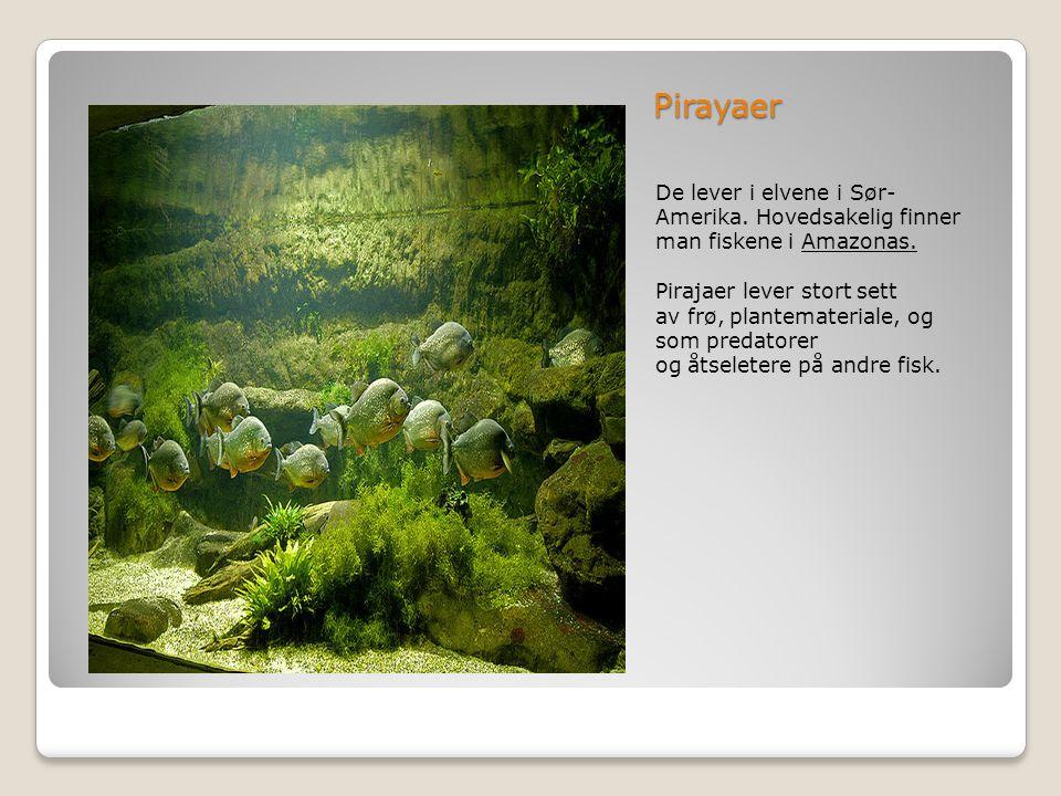 Pirayaer De lever i elvene i Sør-Amerika. Hovedsakelig finner man fiskene i Amazonas.