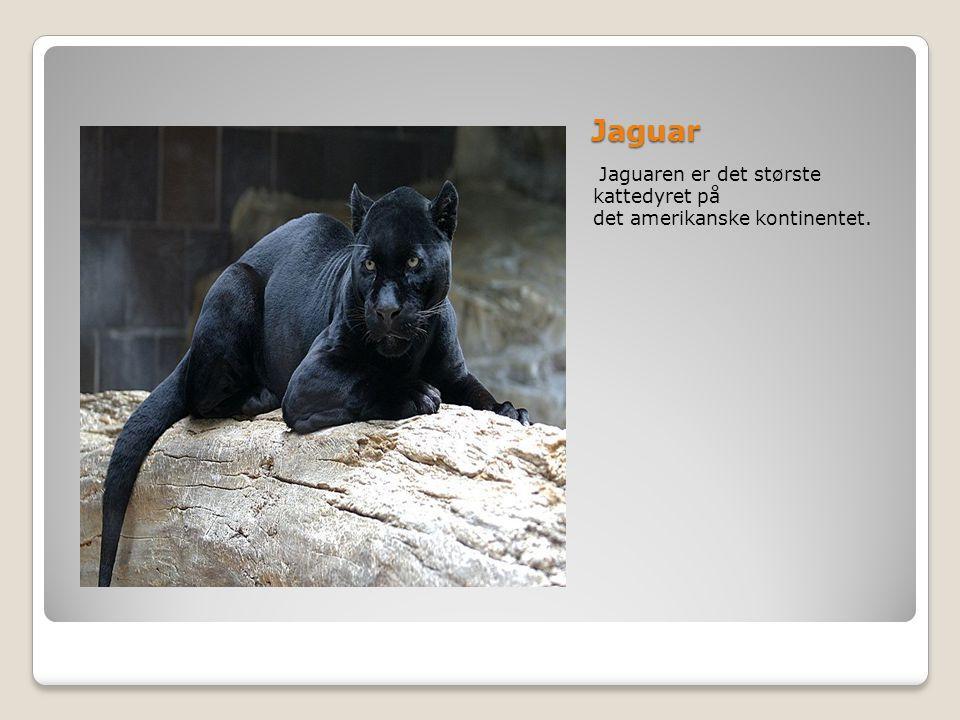 Jaguar Jaguaren er det største kattedyret på det amerikanske kontinentet.
