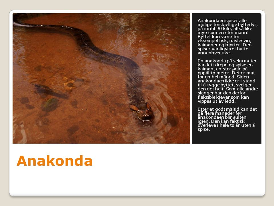 Anakondaen spiser alle mulige forskjellige byttedyr, på inntil 90 kilo, altså like mye som en stor mann! Byttet kan være for eksempel fisk, navlesvin, kaimaner og hjorter. Den spiser vanligvis et bytte annenhver uke. En anakonda på seks meter kan lett drepe og spise en kaiman, en stor øgle på opptil to meter. Det er mat for en hel måned. Siden anakondaen ikke er i stand til å tygge byttet, svelger den det helt. Som alle andre slanger har den derfor fleksible kjever som kan vippes ut av ledd. Etter et godt måltid kan det gå flere måneder før anakondaen blir sulten igjen. Den kan faktisk overleve i hele to år uten å spise.