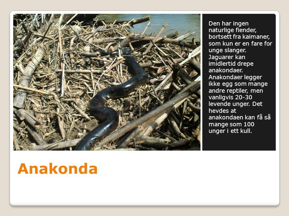 Den har ingen naturlige fiender, bortsett fra kaimaner, som kun er en fare for unge slanger. Jaguarer kan imidlertid drepe anakondaer. Anakondaer legger ikke egg som mange andre reptiler, men vanligvis 20-30 levende unger. Det hevdes at anakondaen kan få så mange som 100 unger i ett kull.