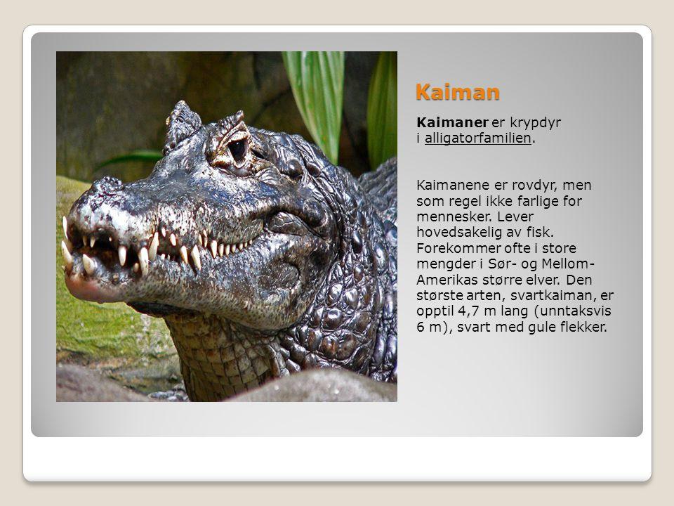 Kaiman Kaimaner er krypdyr i alligatorfamilien.