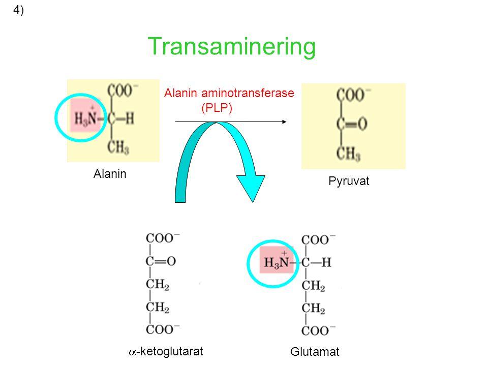 Transaminering 4) Alanin aminotransferase (PLP) Alanin Pyruvat