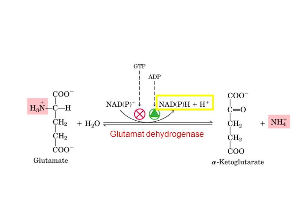 Glutamat dehydrogenase