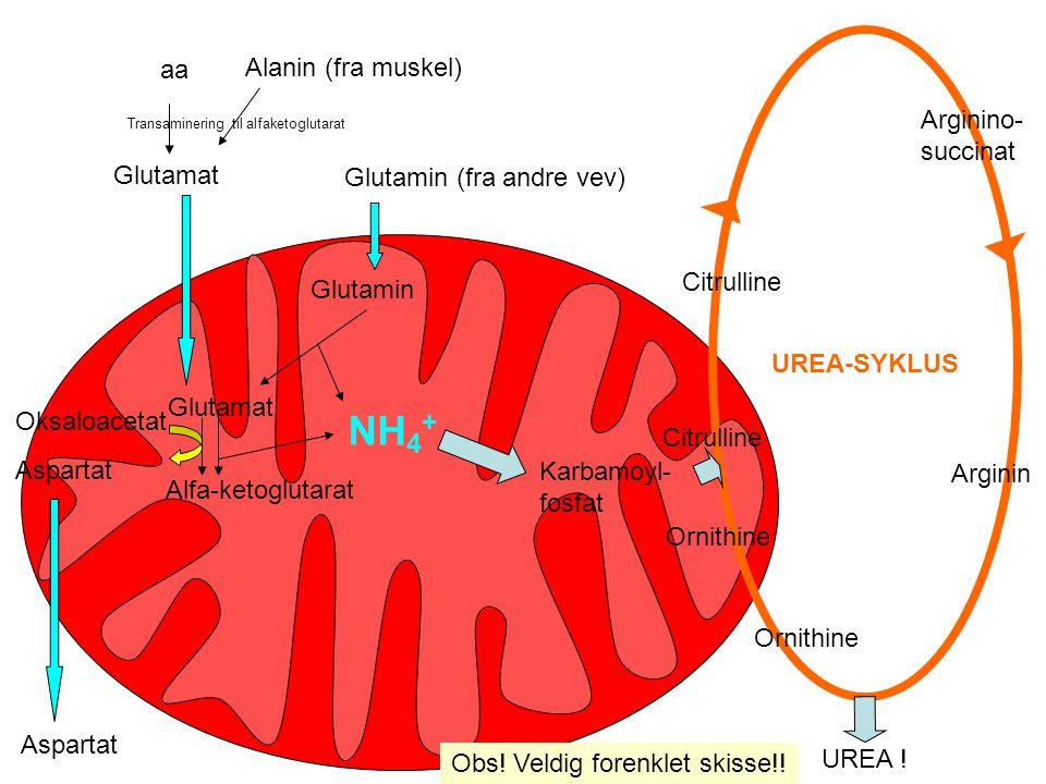 NH4+ aa Alanin (fra muskel) Arginino-succinat Glutamat