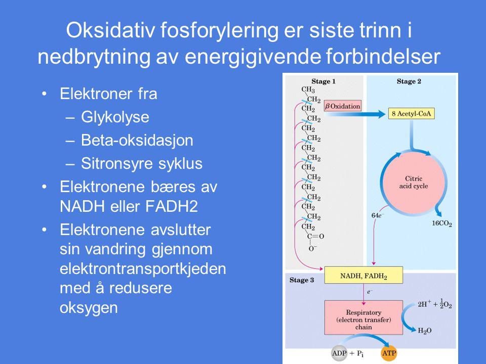Oksidativ fosforylering er siste trinn i nedbrytning av energigivende forbindelser