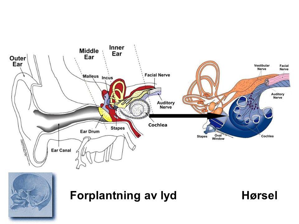 Forplantning av lyd Hørsel