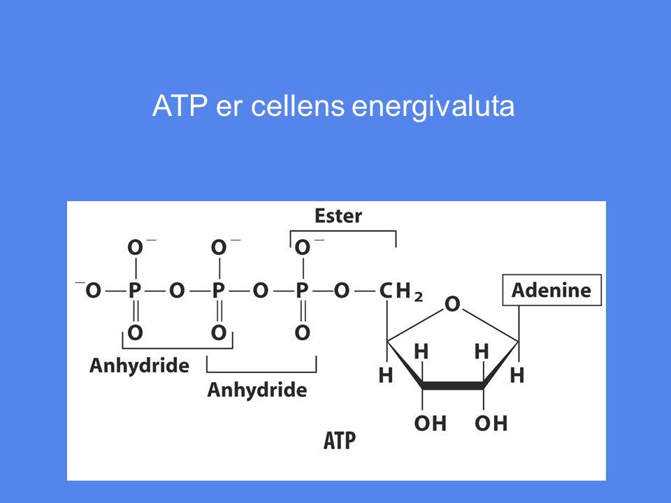 ATP er cellens energivaluta