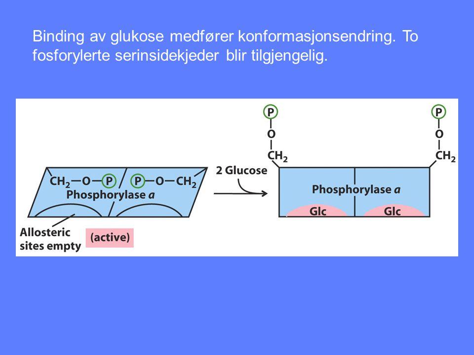Binding av glukose medfører konformasjonsendring