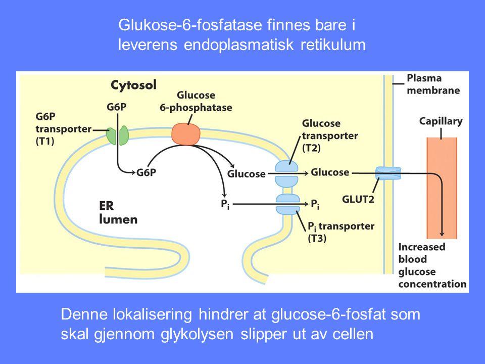 Glukose-6-fosfatase finnes bare i