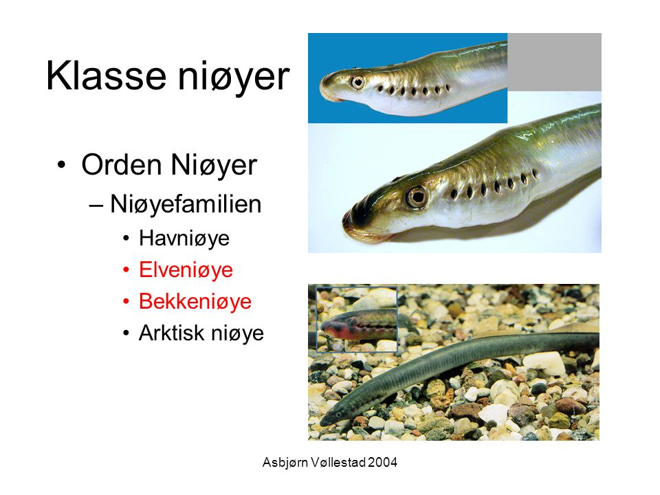 Klasse niøyer Orden Niøyer Niøyefamilien Havniøye Elveniøye Bekkeniøye
