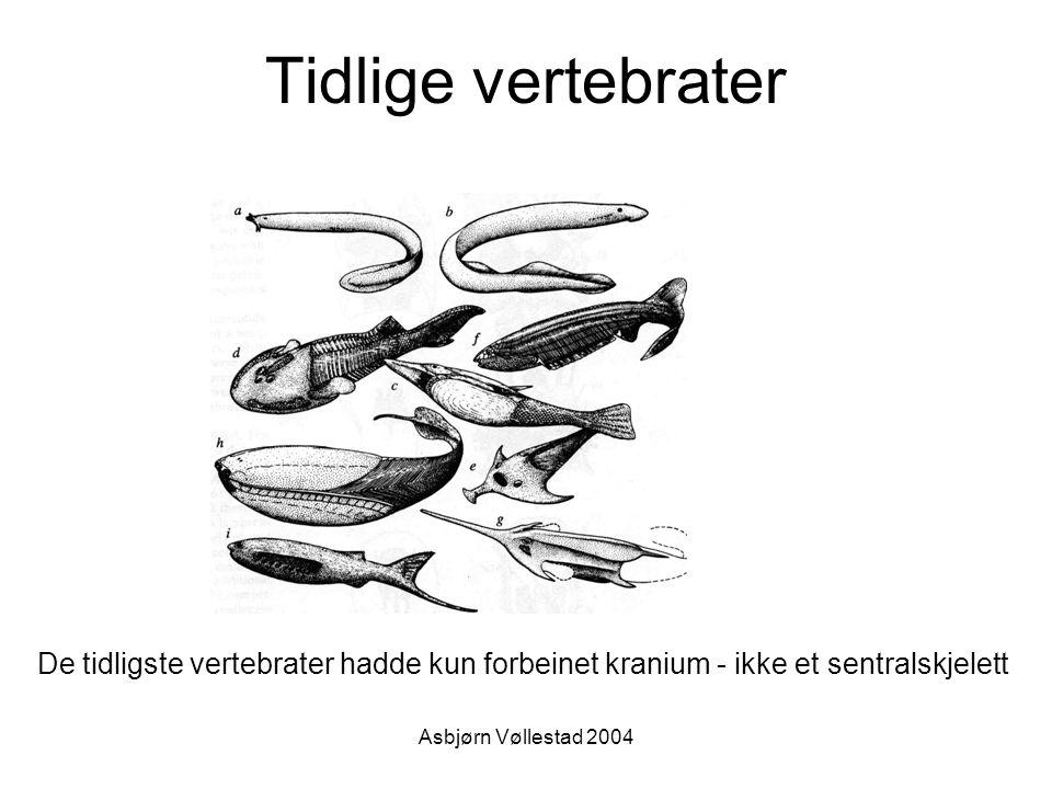 Tidlige vertebrater De tidligste vertebrater hadde kun forbeinet kranium - ikke et sentralskjelett.