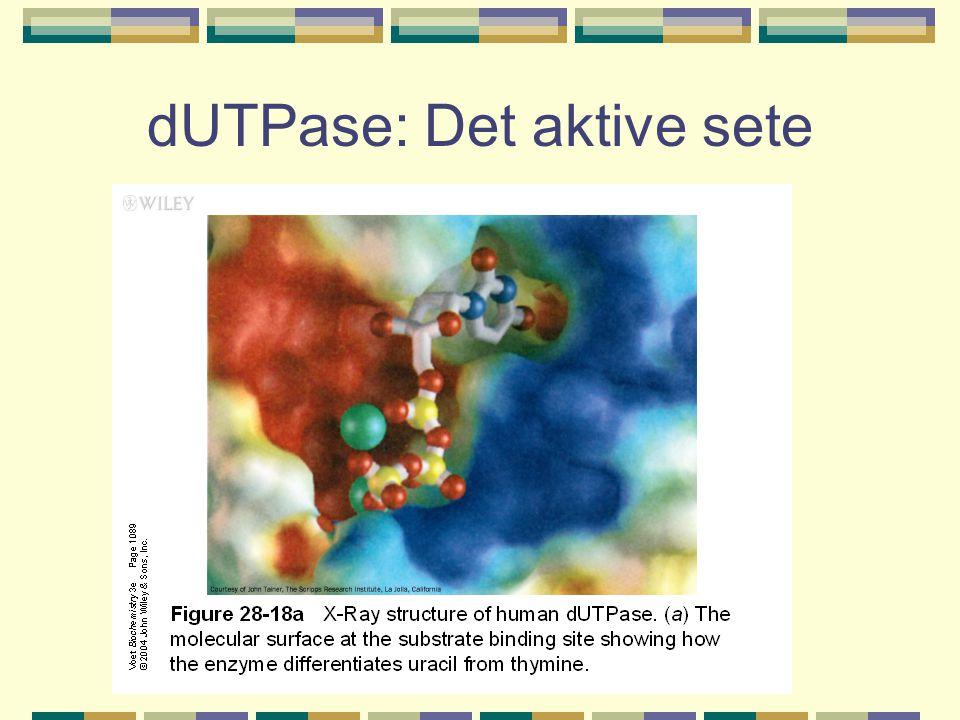 dUTPase: Det aktive sete