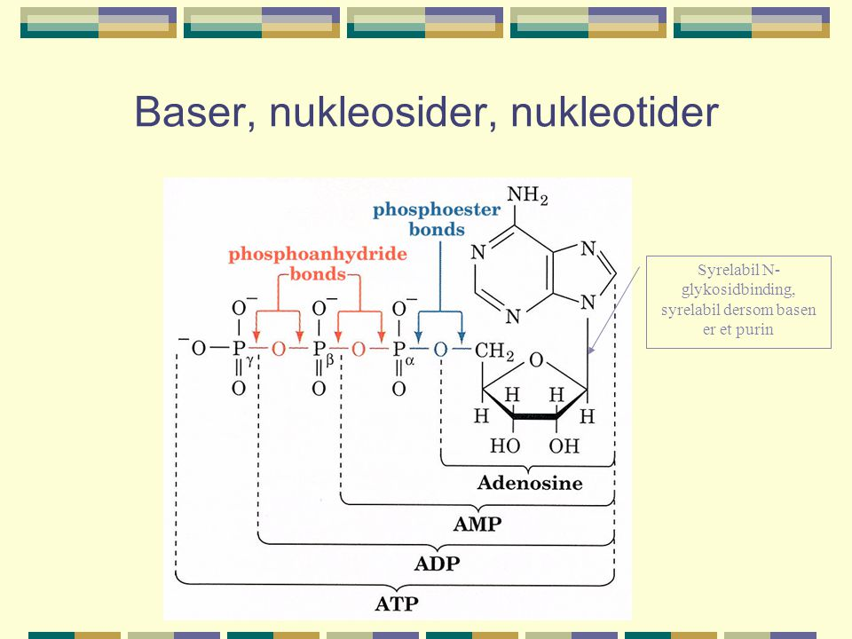 Baser, nukleosider, nukleotider