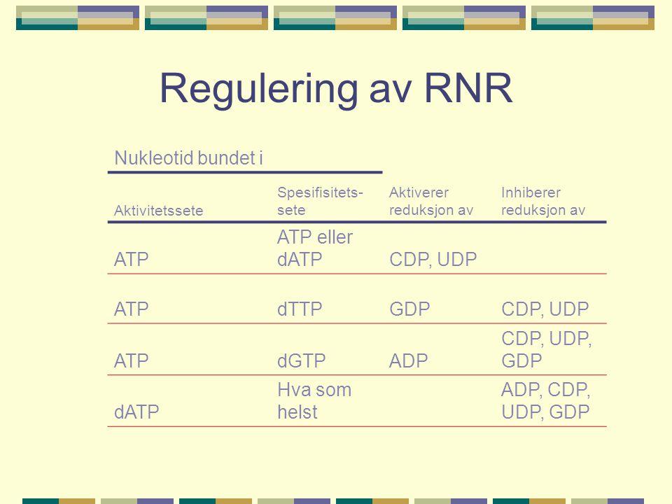Regulering av RNR Nukleotid bundet i ATP ATP eller dATP CDP, UDP dTTP