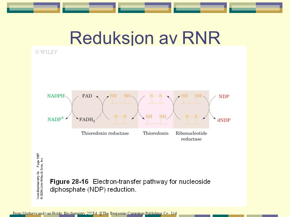 Reduksjon av RNR From Mathews and van Holde: Biochemistry 2nd Ed.