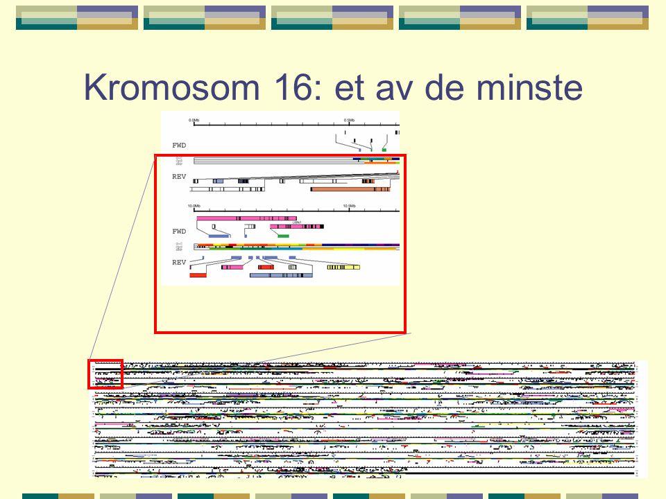 Kromosom 16: et av de minste