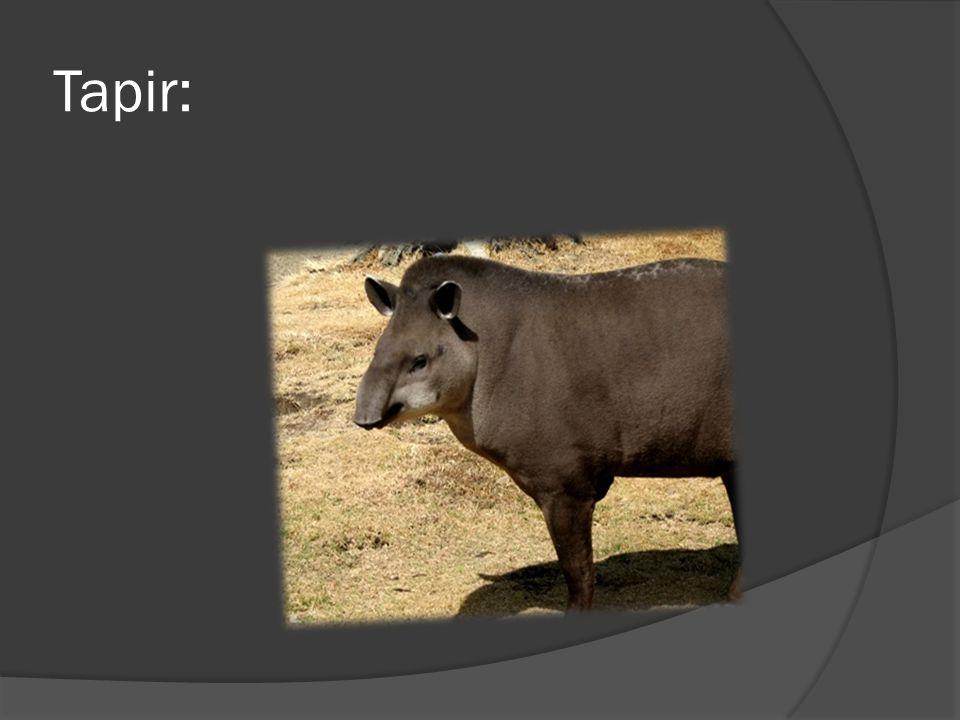 Tapir: