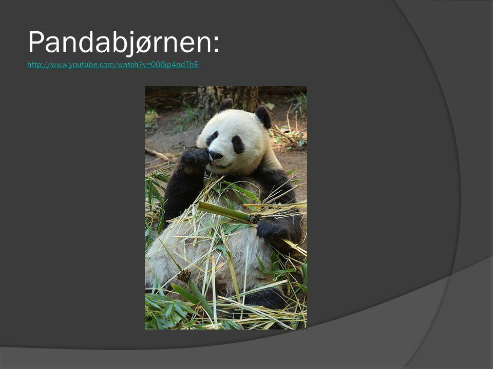 Pandabjørnen: http://www.youtube.com/watch v=006ip4ndThE