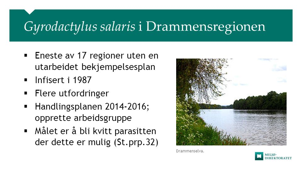Gyrodactylus salaris i Drammensregionen