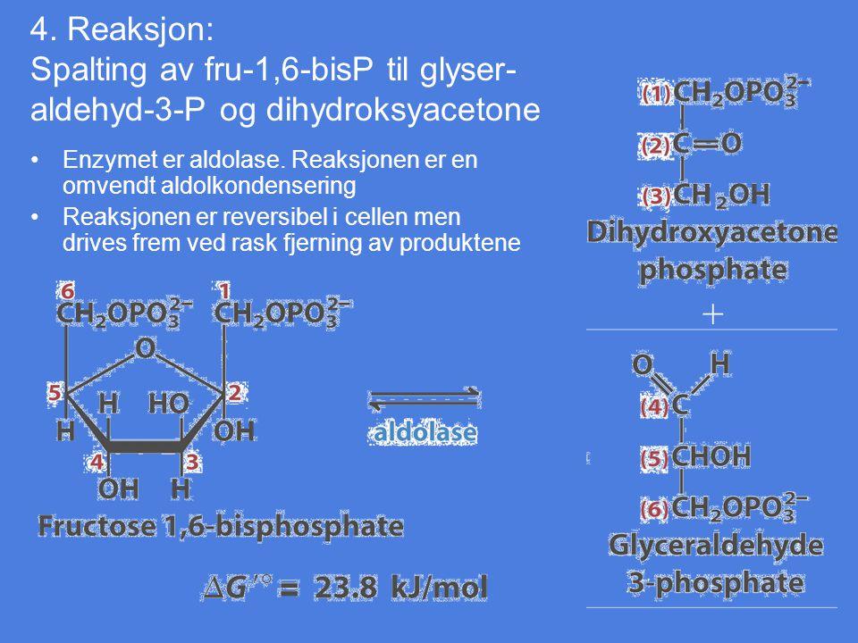 4. Reaksjon: Spalting av fru-1,6-bisP til glyser- aldehyd-3-P og dihydroksyacetone