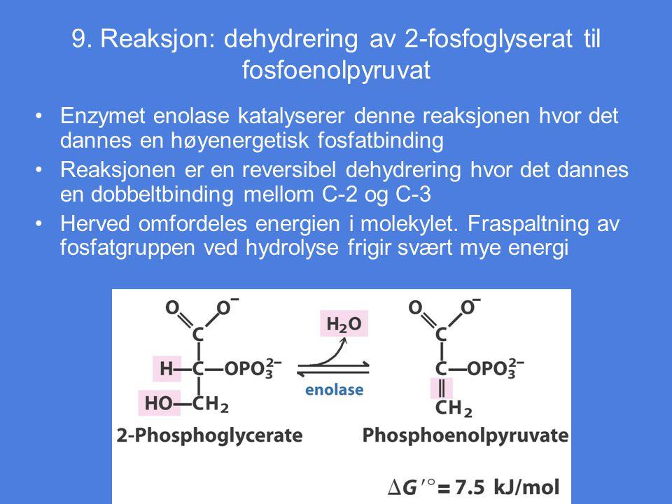 9. Reaksjon: dehydrering av 2-fosfoglyserat til fosfoenolpyruvat