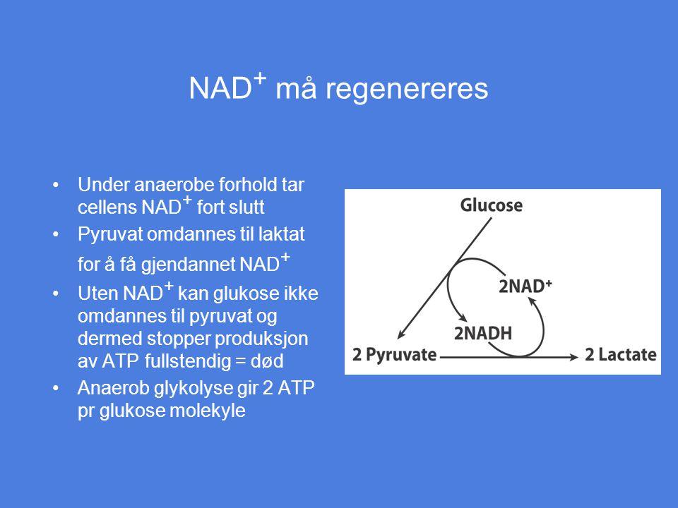 NAD+ må regenereres Under anaerobe forhold tar cellens NAD+ fort slutt