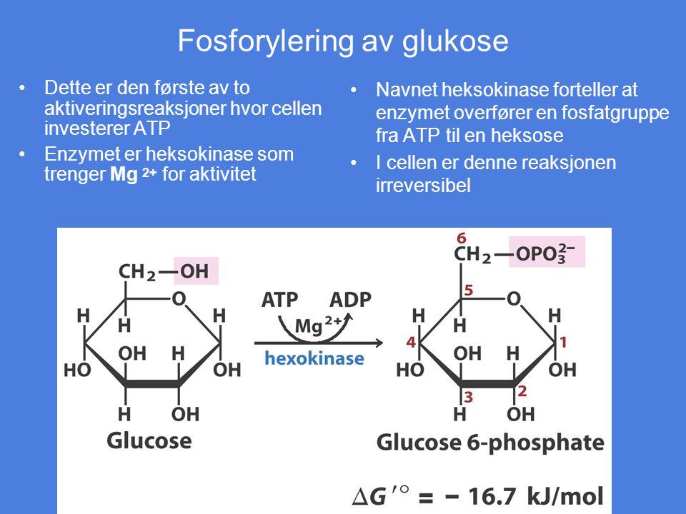 Fosforylering av glukose